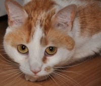 Adopt Leo cat now from King Street Cats today