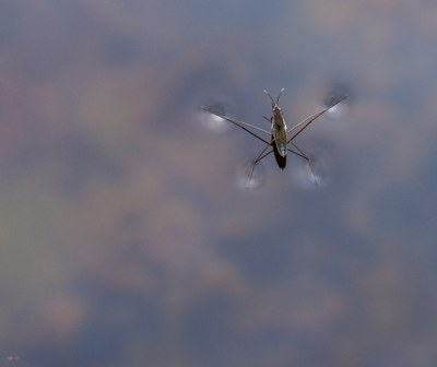 Gerris lacustris or common pond skater or common water strider